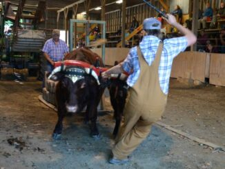 young teamster encourages his ox team to pull 2087 kg in a competition