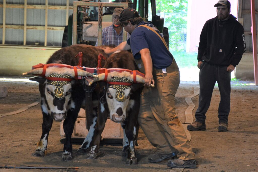 Trenton Patterson pushes his ox team to the correct position in the track. They were competing in the Ox Pull at the Digby County Exhibition Grounds.